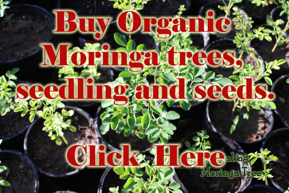 Buy Organic Moringa Trees Medicinal Herbal Tea Chinese